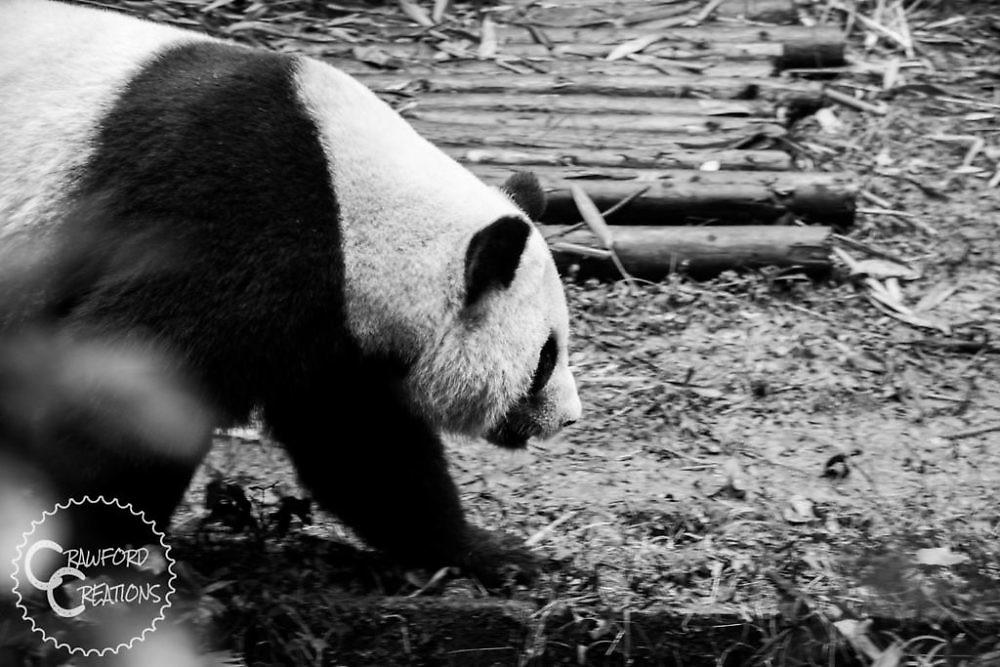 panda-chengdu